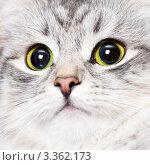 Купить «Портрет красивой кошки», фото № 3362173, снято 6 февраля 2012 г. (c) Дмитрий Наумов / Фотобанк Лори