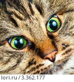 Купить «Портрет кота с зелеными глазами», фото № 3362177, снято 3 января 2009 г. (c) Дмитрий Наумов / Фотобанк Лори