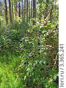 Купить «Ягоды черники в лесу», фото № 3365241, снято 18 июля 2009 г. (c) Сергей Яковлев / Фотобанк Лори