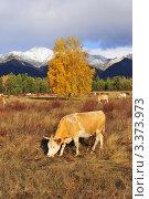 Корова на фоне гор. Стоковое фото, фотограф Сергей Лобанев / Фотобанк Лори