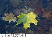 Кленовые листья на воде. Стоковое фото, фотограф Наталья Гаврилястая / Фотобанк Лори