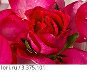 Крупный план красной розы. Стоковое фото, фотограф Сергей Коршенюк / Фотобанк Лори