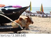 Корова на пляже Гоа. Индия (2011 год). Редакционное фото, фотограф Татьяна Четвертакова / Фотобанк Лори