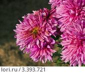 Ярко красные хризантемы и пчела. Стоковое фото, фотограф Владимир Никифоров / Фотобанк Лори