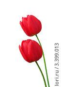 Два красных ярких тюльпана на белом фоне. Стоковое фото, фотограф UladzimiR / Фотобанк Лори