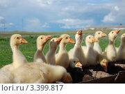 Молодые гусята на водопое. Стоковое фото, фотограф Мария Усманова / Фотобанк Лори