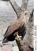 Орлан-белохвост White-tailed Eagle (Haliaeetus albicilla) Стоковое фото, фотограф Игорь Долгов / Фотобанк Лори