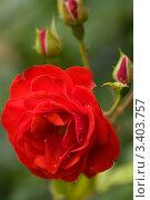 Купить «Алая роза», фото № 3403757, снято 11 июля 2008 г. (c) Stockphoto / Фотобанк Лори