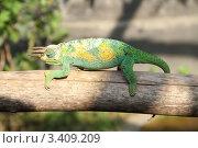 Рогатый хамелеон в Уганде. Стоковое фото, фотограф VASYL STOYKA / Фотобанк Лори