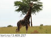 Жираф в саванне на фоне дерева (2011 год). Стоковое фото, фотограф VASYL STOYKA / Фотобанк Лори