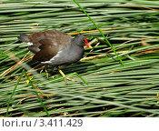 Болотная птица с красным клювом в траве, Великобритания. Стоковое фото, фотограф Сергей Жадов / Фотобанк Лори