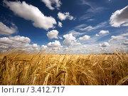 Купить «Поле желтой пшеницы и облака в небе», фото № 3412717, снято 22 июля 2009 г. (c) Алексей Строганов / Фотобанк Лори