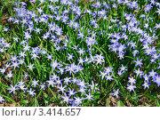 Купить «Цветы Хионодокса (Chionodoxa) весной», фото № 3414657, снято 26 апреля 2011 г. (c) Алёшина Оксана / Фотобанк Лори