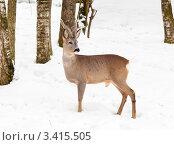 Купить «Косуля в зимнем лесу среди деревьев», эксклюзивное фото № 3415505, снято 13 марта 2012 г. (c) Игорь Низов / Фотобанк Лори