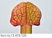 Купить «Лист насекомоядного растения Саррацении пурпурной (Sarracenia purpurea)», эксклюзивное фото № 3419129, снято 25 августа 2019 г. (c) Елена Коромыслова / Фотобанк Лори