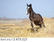 Бегущий жеребенок. Стоковое фото, фотограф Антонова Виктория Юрьевна / Фотобанк Лори