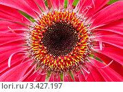 Купить «Крупный план цветка герберы», фото № 3427197, снято 18 сентября 2009 г. (c) Евгений Дробжев / Фотобанк Лори