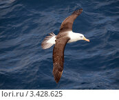 Чернобровый альбатрос, южная Атлантика. Стоковое фото, фотограф Александр Огурцов / Фотобанк Лори