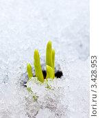 Купить «Молодые ростки пробиваются через снег», фото № 3428953, снято 10 апреля 2011 г. (c) Дмитрий Наумов / Фотобанк Лори