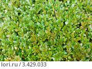 Купить «Фон из зелёных листьев самшита», фото № 3429033, снято 12 марта 2008 г. (c) Дмитрий Наумов / Фотобанк Лори