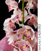 Купить «Розовая орхидея», фото № 3429053, снято 5 марта 2005 г. (c) Дмитрий Наумов / Фотобанк Лори