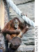Купить «Молодой суматранский орангутан. Сидит, задумвашись на бревне, держится за канат (Sumatran orangutan, Pongo pygmaeus abelii)», эксклюзивное фото № 3439761, снято 11 мая 2008 г. (c) Щеголева Ольга / Фотобанк Лори