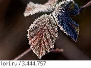 Иней на листьях. Стоковое фото, фотограф Николай Белин / Фотобанк Лори
