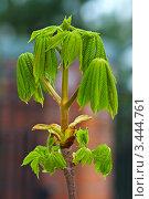 Молодые листья каштана. Стоковое фото, фотограф Николай Белин / Фотобанк Лори