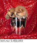 Щенки шпица в ведерке. Стоковое фото, фотограф Ирина Подгорных / Фотобанк Лори