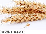 Купить «Колосья пшеницы», фото № 3452261, снято 7 мая 2010 г. (c) Александр Лесик / Фотобанк Лори