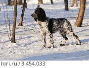 Купить «Молодой русский охотничий спаниель», фото № 3454033, снято 24 января 2012 г. (c) Елена Ермоленко / Фотобанк Лори