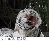 Белый тигр крупным планом с угрожающей мимикой. Стоковое фото, фотограф Григорий Писоцкий / Фотобанк Лори