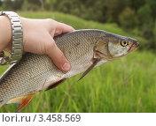 Пойманный жерех. Стоковое фото, фотограф Dmitry29 / Фотобанк Лори