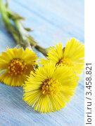 Купить «Желтые цветы мать-и-мачехи на синем деревянном фоне», фото № 3458821, снято 13 апреля 2012 г. (c) Юлия Маливанчук / Фотобанк Лори