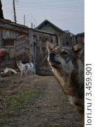 Собака охраняет свой дом. Стоковое фото, фотограф Ахметзянов тимур / Фотобанк Лори