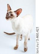 Купить «Сиамская кошка», фото № 3460421, снято 10 марта 2012 г. (c) Сергей Дубров / Фотобанк Лори