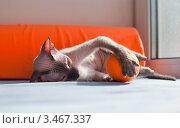 Купить «Кошка породы сфинкс играет с апельсином», фото № 3467337, снято 24 февраля 2020 г. (c) Лагутин Сергей / Фотобанк Лори