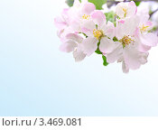 Цветок яблони на голубом фоне- символ весны. Стоковое фото, фотограф Кардашева Ирина Александровна / Фотобанк Лори
