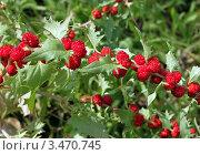 Шпинат ягодный (земляничный) Стоковое фото, фотограф Ирина Горбачева / Фотобанк Лори