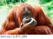 Орангутанг. Стоковое фото, фотограф Татьяна Белова / Фотобанк Лори