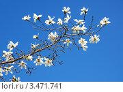 Купить «Ветка цветущей белой магнолии на фоне синего неба», фото № 3471741, снято 17 января 2020 г. (c) Сергей Куров / Фотобанк Лори