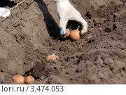 Купить «Посадка картофеля весной», фото № 3474053, снято 26 апреля 2012 г. (c) Игорь Ткачёв / Фотобанк Лори