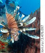 Купить «Крылатка-зебра, рыба-зебра или полосатая крылатка (Pterois volitans) на фоне кораллового рифа», фото № 3476097, снято 16 октября 2018 г. (c) Сергей Дубров / Фотобанк Лори
