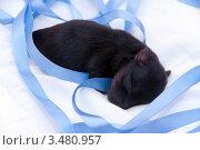 Купить «Новорожденный щенок йоркширского терьера», фото № 3480957, снято 12 августа 2010 г. (c) Ирина Игумнова / Фотобанк Лори