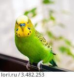 Купить «Портрет волнистого попугая», эксклюзивное фото № 3482253, снято 30 апреля 2012 г. (c) Игорь Низов / Фотобанк Лори