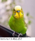 Купить «Портрет волнистого зелёного попугая», эксклюзивное фото № 3482257, снято 30 апреля 2012 г. (c) Игорь Низов / Фотобанк Лори