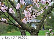 Купить «Сакура в цвету на фоне японской беседки и человека, Японский сад, Москва», фото № 3486553, снято 30 апреля 2012 г. (c) Fro / Фотобанк Лори