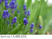 Купить «Мускари», фото № 3490633, снято 1 мая 2012 г. (c) Natalya Sidorova / Фотобанк Лори