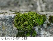 Купить «Зеленый мох на камне», фото № 3491013, снято 10 сентября 2011 г. (c) Лагутин Сергей / Фотобанк Лори