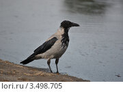 Ворона на берегу Волги. Стоковое фото, фотограф Евгения Плешакова / Фотобанк Лори